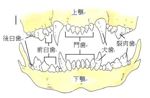 本数 歯 の